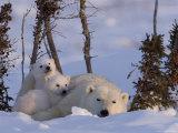 Polar Bear with Cubs, (Ursus Maritimus), Churchill, Manitoba, Canada Photographie par Thorsten Milse