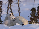 Polar Bear with Cubs, (Ursus Maritimus), Churchill, Manitoba, Canada Fotografisk trykk av Thorsten Milse