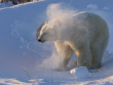 Polar Bear, (Ursus Maritimus), Churchill, Manitoba, Canada Photographic Print by Thorsten Milse