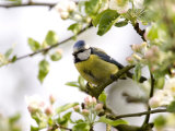 Blue Tit, (Parus Caeruleus), Bielefeld, Nordrhein Westfalen, Germany Reproduction photographique par Thorsten Milse