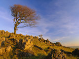 Bare Tree on Stony Outcrop, Parwich, Hartington, Derbyshire, England Photographic Print by Pearl Bucknell