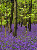 Bluebells in a Beech Wood, West Stoke, West Sussex, England, UK Photographic Print by Pearl Bucknell