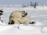 Polar Bear with a Cub, (Ursus Maritimus), Churchill, Manitoba, Canada Photographie par Thorsten Milse