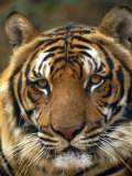 Portrait of an Indo Chinese Tiger, Tiger Sanctuary, Khao Pardap Chan, Thailand Photographic Print by Louise Murray
