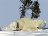 Polar Bear with a Cub, (Ursus Maritimus), Churchill, Manitoba, Canada Photographic Print by Thorsten Milse