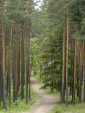Path Through Pine Forest, Near Riga, Latvia, Baltic States, Europe Photographic Print by Gary Cook