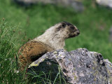 Hoary Marmot (Marmotta Caligata), Banff National Park, Alberta, Canada, North America Photographic Print by James Hager