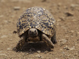 Leopard Tortoise (Geochelone Pardalis), Kruger National Park, South Africa, Africa Photographic Print by James Hager