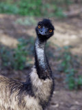 Emu (Dromaius Novachollandiae) in Captivity, Airlie Beach, Queensland, Australia, Pacific Photographie par James Hager