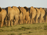 Line of African Elephants (Loxodonta Africana), Addo Elephant National Park, South Africa, Africa Photographic Print by James Hager
