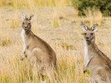 Eastern Grey Kangaroos, Wilsons Promontory National Park, Victoria, Australia, Pacific Photographic Print by Jochen Schlenker