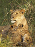 Lioness with Two Cubs (Panthera Leo), Masai Mara Game Reserve, Kenya, East Africa, Africa Fotografie-Druck von James Hager