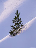 Pine Tree in Snow, Bryce Canyon National Park, Utah, United States of America, North America Photographic Print by James Hager