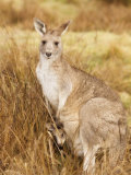 Eastern Grey Kangaroo and Joey, Kosciuszko National Park, New South Wales, Australia, Pacific Photographic Print by Jochen Schlenker