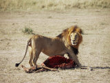 Male Lion (Panthera Leo), with Gnu Carcass, Masai Mara National Reserve, Kenya, East Africa, Africa Photographic Print by James Hager