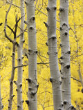 Aspen Trunks and Fall Foliage, Near Telluride, Colorado, United States of America, North America Photographic Print by James Hager