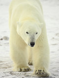 Polar Bear (Thalarctos Maritimus), Churchill, Manitoba, Canada, North America Photographic Print by James Hager