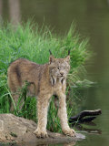 Lynx (Lynx Canadensis), in Captivity, Sandstone, Minnesota, United States of America, North America Photographic Print by James Hager
