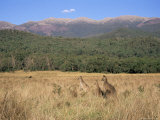 Eastern Grey Kangaroos, New South Wales, Australia, Pacific Photographic Print by Jochen Schlenker