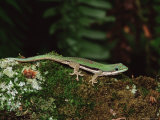 Lined Day Gecko (Phelsuma Lineata), in Captivity, from Madagascar, Africa Photographic Print by James Hager