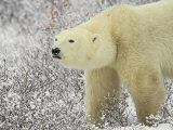 Polar Bear (Thalarctos Maritimus) Standing Among Willow, Churchill, Manitoba, Canada, North America Photographic Print by James Hager