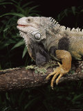 Green Iguana (Iguana Iguana) in Captivity, from Central South America Photographic Print by James Hager