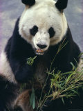 Panda Eating Bamboo Photographic Print by Christina Gascoigne