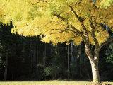 Golden Robinia, Marysville, Victoria, Australia, Pacific Fotografisk tryk af Jochen Schlenker