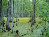Atchafalaya Swamp Near Gibson in the Heart of 'Cajun Country', Louisiana, USA Photographic Print by Robert Francis