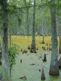 Cajun Country, Atchatalaya Swamp, Near Gibson, Louisiana, USA Photographic Print by Robert Francis
