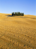Copse of Cypress Trees in a Harvested Field in Summer, Near Siena, Tuscany, Italy Photographic Print by Bruno Morandi