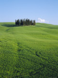 Copse of Cypress Trees in a Field in Spring, Near Siena, Tuscany, Italy Photographic Print by Bruno Morandi