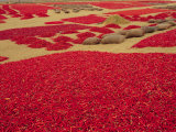 Picked Red Chilli Peppers Laid out to Dry, Rajasthan, India Photographic Print by Bruno Morandi