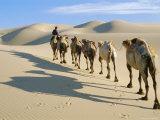 Camel Caravan, Omnogov, Gobi Desert, Khongoryn Els Dunes, Mongolia Photographic Print by Bruno Morandi