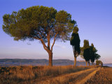 Landscape with Cypress Trees and Parasol Pines, Province of Siena, Tuscany, Italy, Europe Photographic Print by Bruno Morandi