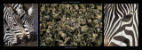 Zebras Migration Poster by Michel & Christine Denis-Huot