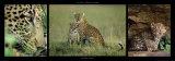 Famille de léopards Posters par Michel & Christine Denis-Huot