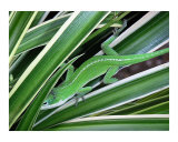 Anole Hiding In Spider Plant Photographic Print by Lucyna A M Green