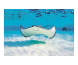 Smiling Stingray Fotografie-Druck von Anne Flinn Powell