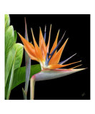 Bird of Paradise - Royal Beauty I Lámina fotográfica por Ben & Raisa Gertsberg