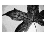Sweetgum Sketch Photographic Print by Anne Gregory