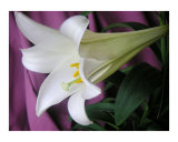 Easter Lily Eight Photographic Print by Lucyna A M Green