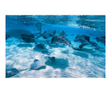 Stingray City Fotodruck von Anne Flinn Powell