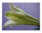 Easter Lily Five Photographic Print by Lucyna A M Green