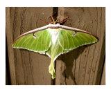 Luna Moth Ready for Flight Reprodukcja zdjęcia autor Bryce Meyer