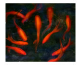 Koi Pond III Photographic Print by Anna Maria Miller