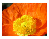 Orange Poppy Photographic Print by Mary Lane