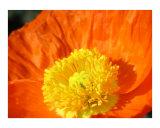 Orange Poppy Photographic Print by Mary Lane