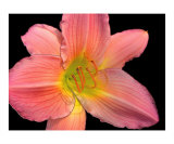 Pink Lily Digital Art Photographic Print by Sally Stoneking
