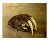 Smilodon Saber Toothed Cat Photographic Print by TRAY MEAD